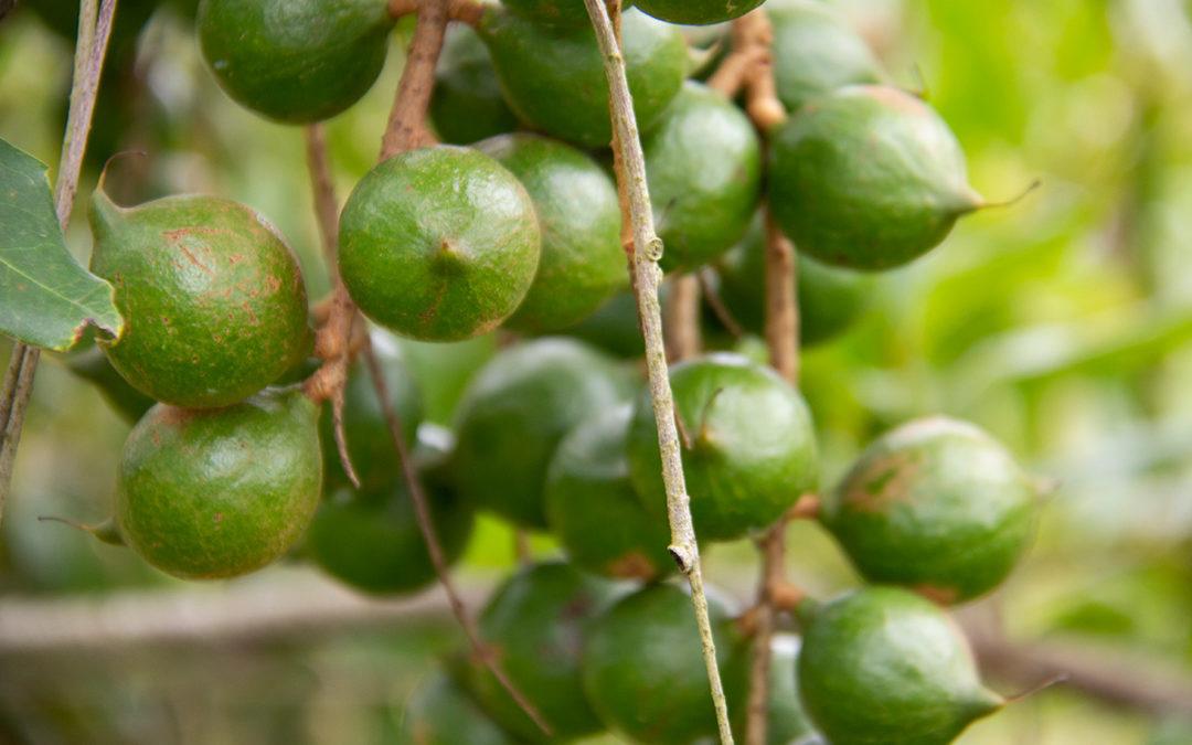 Top KZN macadamia seedling nursery a cracking success