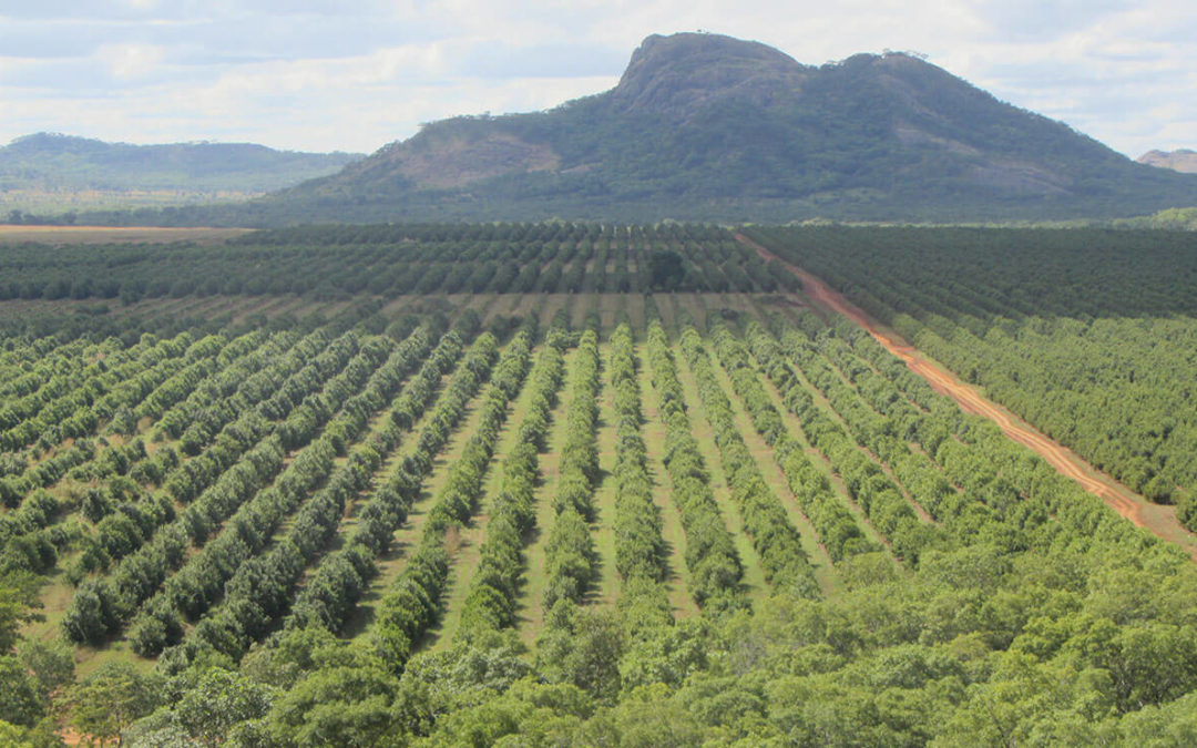Macadamias in Mozambique