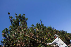 Oribi-macadamia farmer-Fairview Farms2