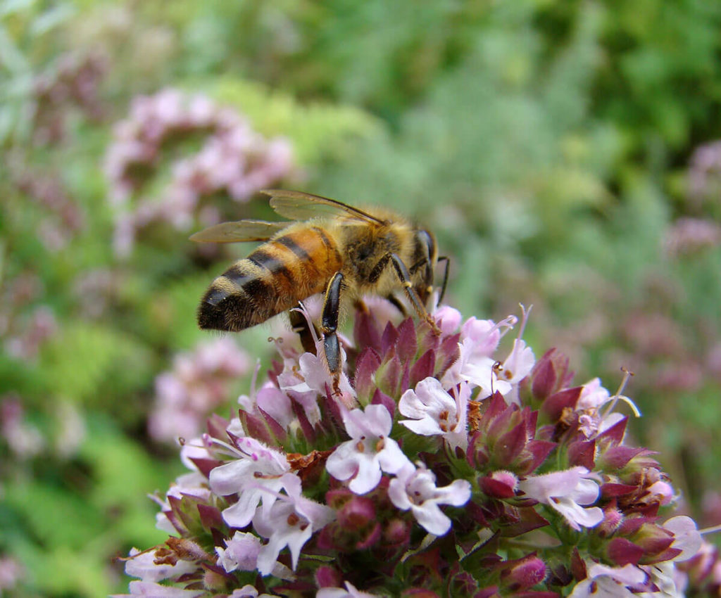 Cover crops that produce flowers are ideal to keep bees in the orchards.