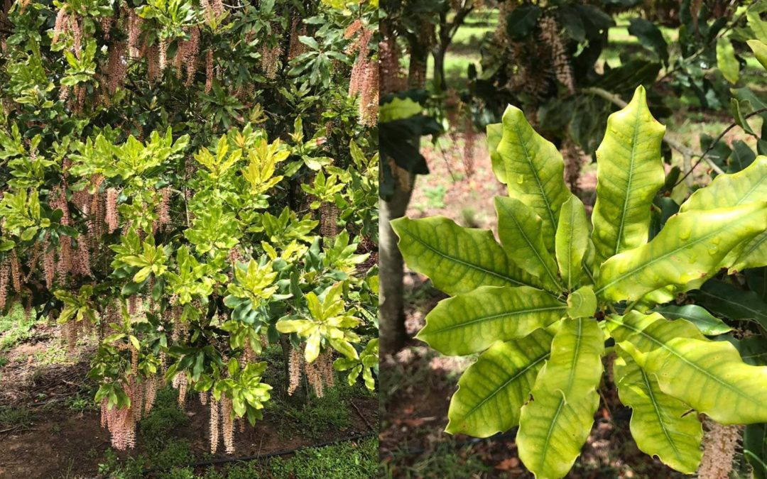 Combatting iron deficiencies in macadamia orchards: solutions for a complex phenomena