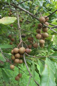 macadamia-nut-quality-2