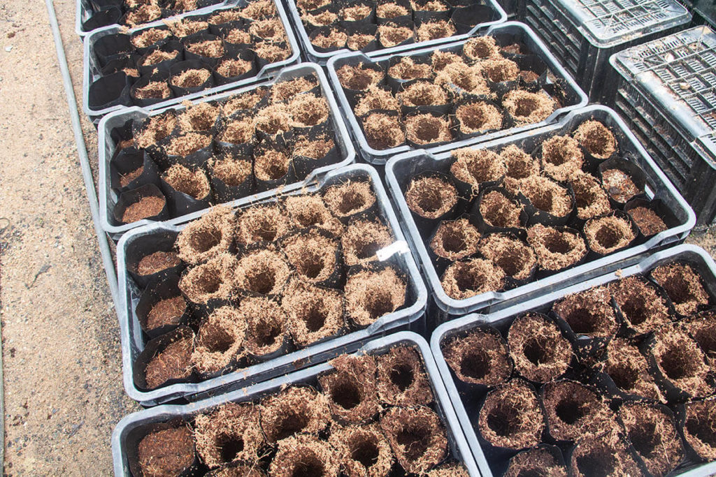 Trays packed and ready to receive the micro-grafted macadamia trees.
