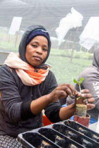 Nursery staffer Nogeziwe Qoze works on a micro-grafted tree.