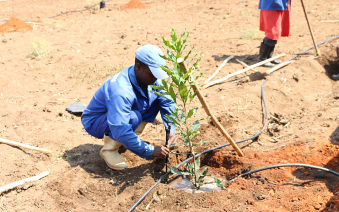 How to plant macadamia trees