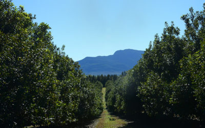 Macadamia production is growing in the Southern Cape