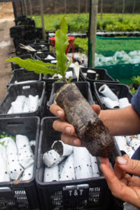 Nurseryman Colin Rand shows the paper bags used for the young macadamia trees once they have been micro-grafted.