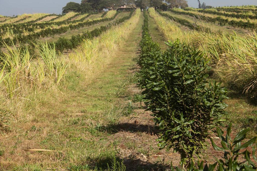 Golden Mile11-Macadamia-farming-south-africa