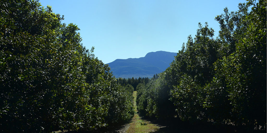A macadamia orchard near Groot Brakrivier, with the Outeniqua Mountains in the background.