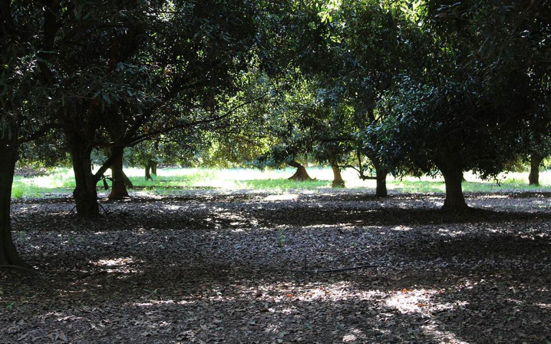 Pruning large trees: short term loss, long term gain