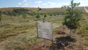 The first macadamias were planted in Piet Retief in 2016