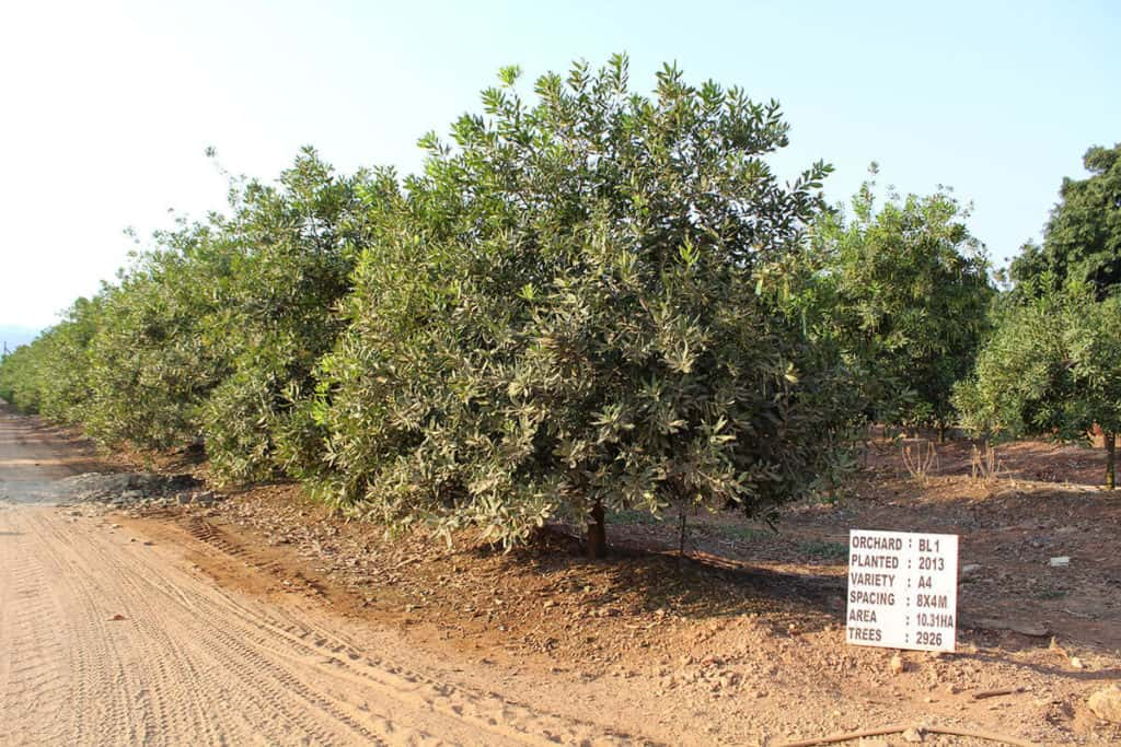The first macadamias were planted in 1998 on Kudu Farms. At that stage, the crop was still relatively unknown in the area, but today, the trees take up most of the landscape, with constant expansion under way.