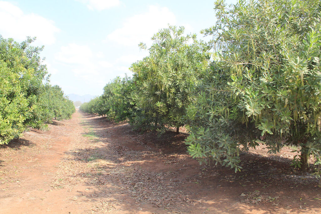 As a macadamia pioneer in Low's Creek, much of what Giovanna Secco did was trial and error. While they have had enormous success with macadamia production, the farm continues to implement new ideas to improve production, for example planting on ridges.